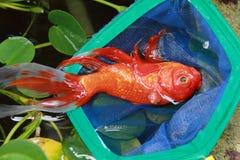 död guldfisk Arkivfoto