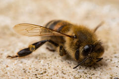 död honung för bi Arkivbilder