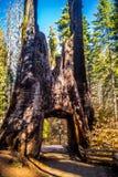 Död jätte i den Yosemite nationalparken, Kalifornien arkivbild