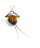 Död kackerlacka Arkivbilder