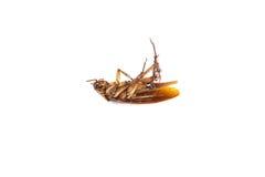 död kackerlacka Royaltyfri Foto