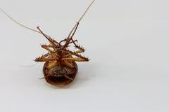 död kackerlacka Royaltyfria Foton