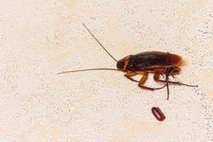 död kackerlacka med kackerlackaägg Arkivbild