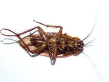 Död kackerlacka på Arkivfoton