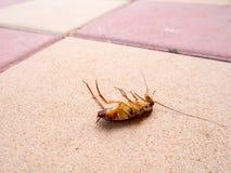 Död kackerlacka på golvet i hus Royaltyfria Foton
