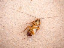 Död kackerlacka på golvet i hus Royaltyfri Fotografi