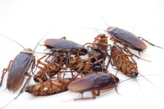 Död kackerlackaisolat för grupp på vit bakgrund Royaltyfri Fotografi