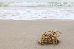 Död korall tvättade sig upp på den sandiga stranden i port Dickson royaltyfria foton