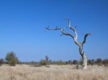 död liggandetree Arkivfoto