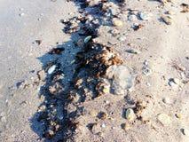 Död manet som ligger på sanden av havet fotografering för bildbyråer