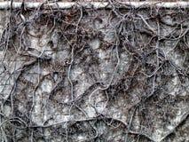 död murgrönathicketvägg Arkivbilder