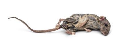 död mus Royaltyfri Foto