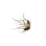 död mygga Arkivbilder