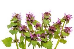 Död-nässla blommor fotografering för bildbyråer