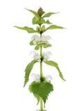 död nässla för bakgrund över växtwhitevildblomma Fotografering för Bildbyråer