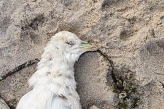 Död nordlig stormfågel, Fulmarusglacialis Arkivbilder