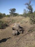 död noshörning Arkivbild