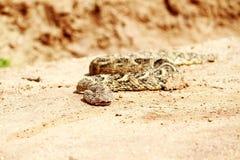 Död orm i öknen royaltyfri bild