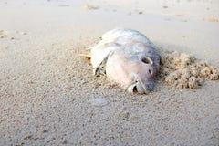 Död papegojafisk på stranden Royaltyfria Foton