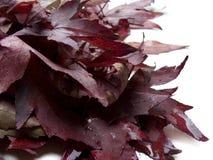 död red för leavesliquidambarlönn royaltyfria bilder