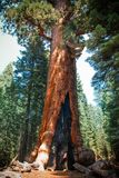 Död sequoiaskog efter löpeld på den Yosemite nationalparken arkivfoton
