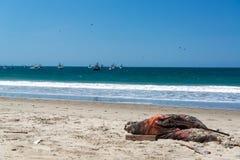 Död sjölejon på en strand Royaltyfri Foto