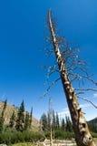 död skelett- tree Fotografering för Bildbyråer