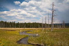 Död skog i den Yellowstone nationalparken royaltyfri bild