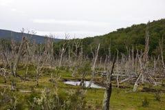 Död skog nära Ushuaia/Argentina royaltyfri bild