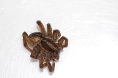 Död spindel Arkivfoto