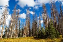 död spruce Arkivbild