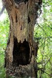 Död stam i skogen Arkivbild