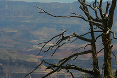 död storslagen tree för kanjon Arkivfoton