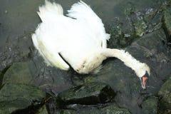 Död svan Arkivbilder