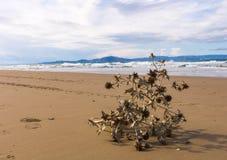 Död tistelväxt som ligger på den härliga sandiga stranden av Grekland arkivbilder