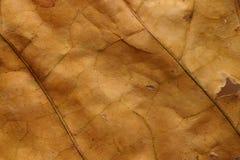 död torr leafmakrotextur Arkivbild