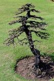 död torr tree Arkivbilder