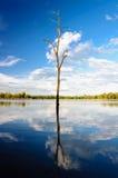 Död trädreflexion i vatten Royaltyfri Foto