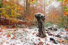 Död trädstam i skog med snö Arkivfoton