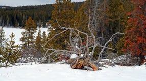 Död trädstubbe i vintern på den Firehole våren på Firehole sjödrev i den Yellowstone nationalparken i Wyoming USA royaltyfri bild