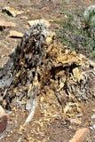 Död trädstubbe på träkanjon sjön, Coconino County, Arizona, Förenta staterna royaltyfria bilder