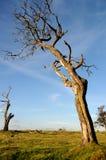 död tree Fotografering för Bildbyråer