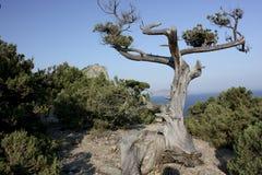 död tree Royaltyfria Bilder