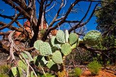 död tree för kaktus Arkivbilder