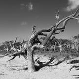 Död tree på stranden Arkivfoto