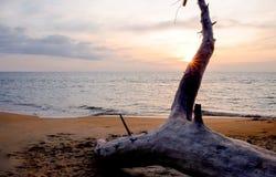 Död tree på stranden Royaltyfri Bild