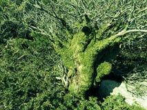 Död Tree som räknas i Moss Arkivbilder