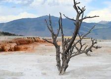 död tree yellowstone Arkivfoton