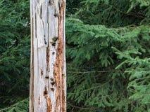 Död treebark i en skog Royaltyfria Bilder