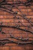 Död vinranka på en tegelstenvägg Arkivfoto